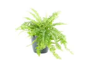 Boston fern - Nephrolepis