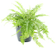 Boston fern Nephrolepis