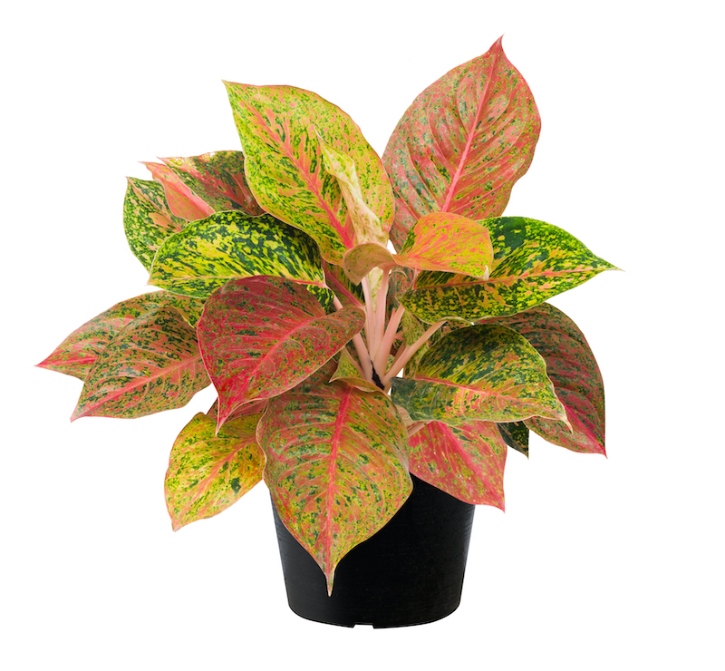 Chinese evergreen - Aglaonema