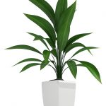 cast iron plant care - Aspidistra