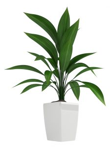 cast iron plant care - Aspidistra