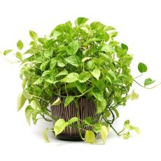 fast growing house plants pothos epipremnum care