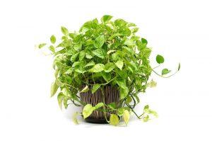 fast growing house plants pothos epipremnum care