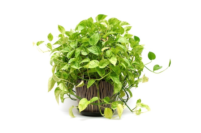Complete Pothos (Epipremnum) Care Guide