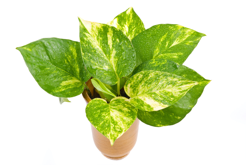 golden pothos - Epipremnum care