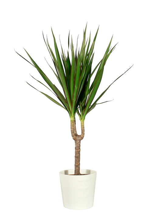 Madagascar dragon tree - Dracaena