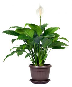 peace lily - Spathiphyllum care