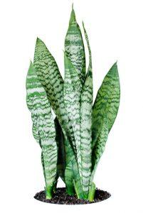 snake plant benefits - Sansevieria