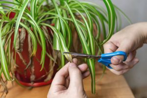 spider plant brown leaf tips