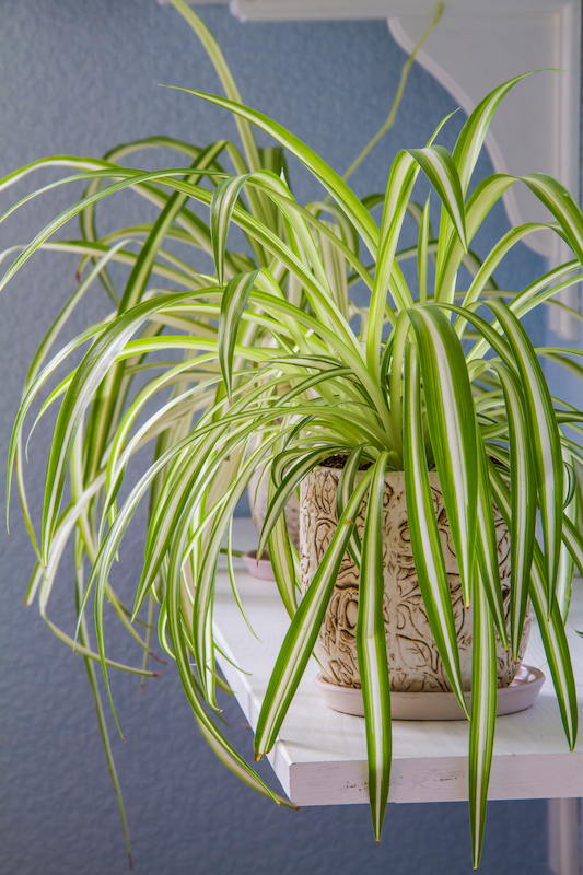 How To Care For Different Spider Plant Varieties