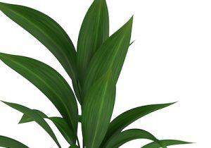 cast iron plant care