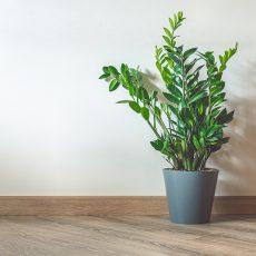 large ZZ plant