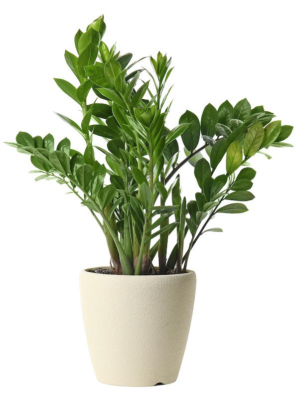 ZZ Plant or Zanzibar Gem