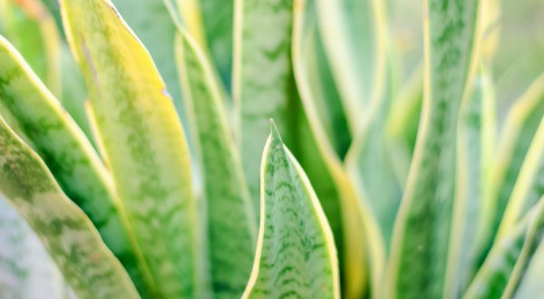 snake plant benefits