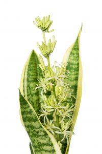 snake plant flower