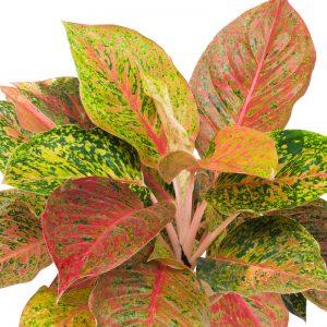 Chinese Evergreen Aglaonema