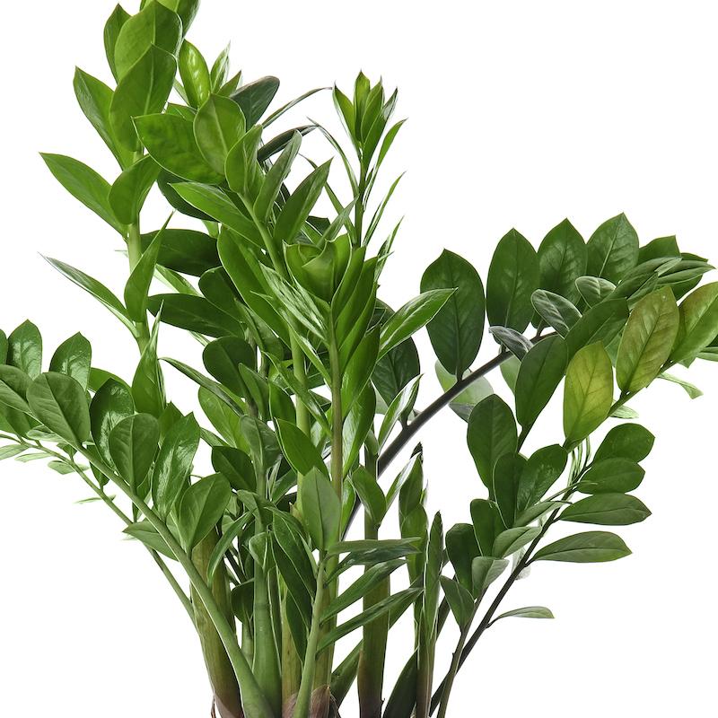 Large ZZ Plant Zamioculcas zamiifolia