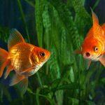 goldfish aquaponics