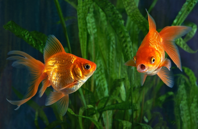 Goldfish Aquaponics – How to Get Started
