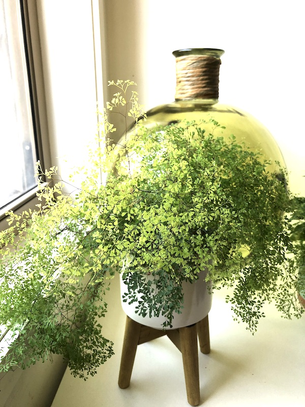 taking care of indoor plants - maidenhair