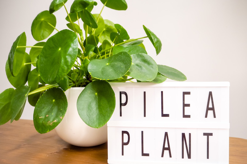 Tips For Chinese Money Plant Care And Propagation