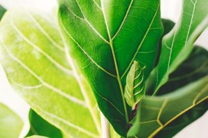 Ficus Lyrata care