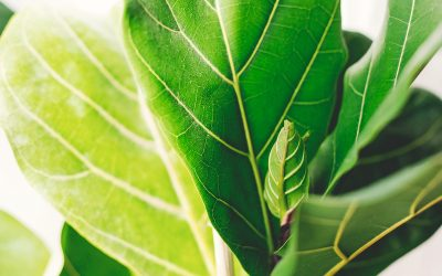 Ficus Lyrata Care – The Do's and Dont's