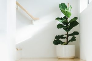 Fiddle leaf fig light
