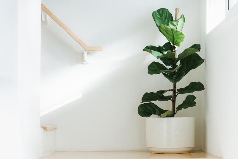 Fiddle leaf fig light