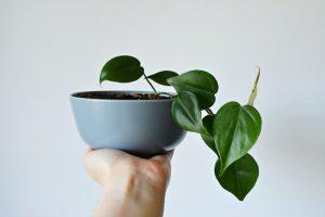 heart shaped leaf houseplant