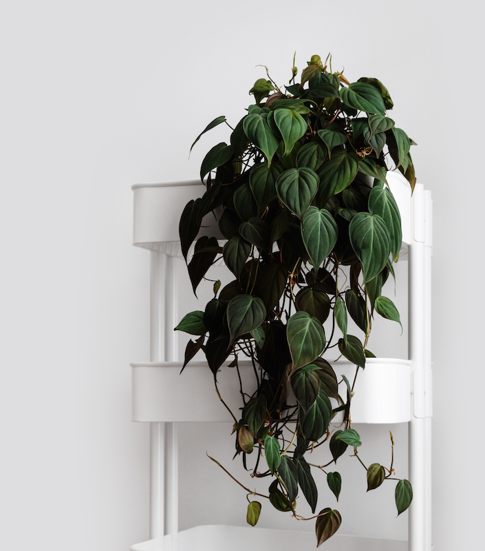 heartleaf philodendron care