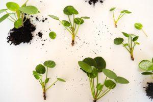 money plant propagation
