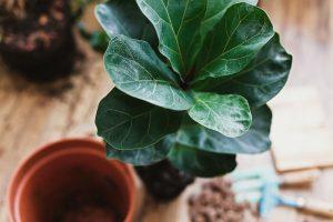 Repotting fiddle leaf fig