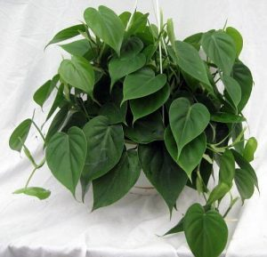 houseplant with heart shaped leaves