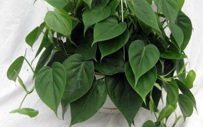 Indoor Growing Guide For the Sweetheart Plant