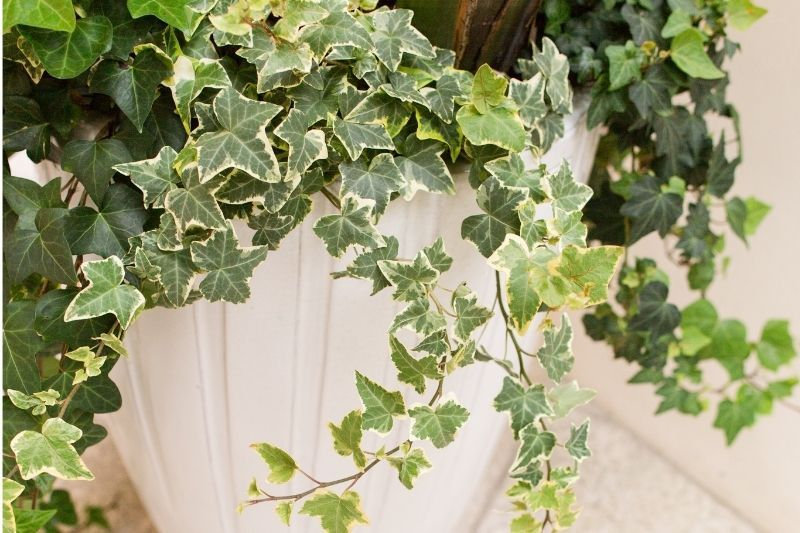 variegated ivy care