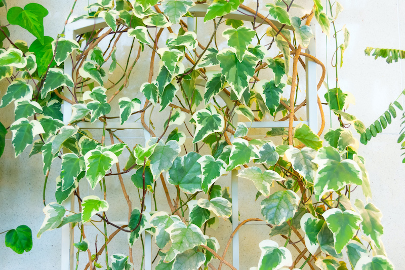 How To Grow Variegated Ivy As A Thriving Houseplant